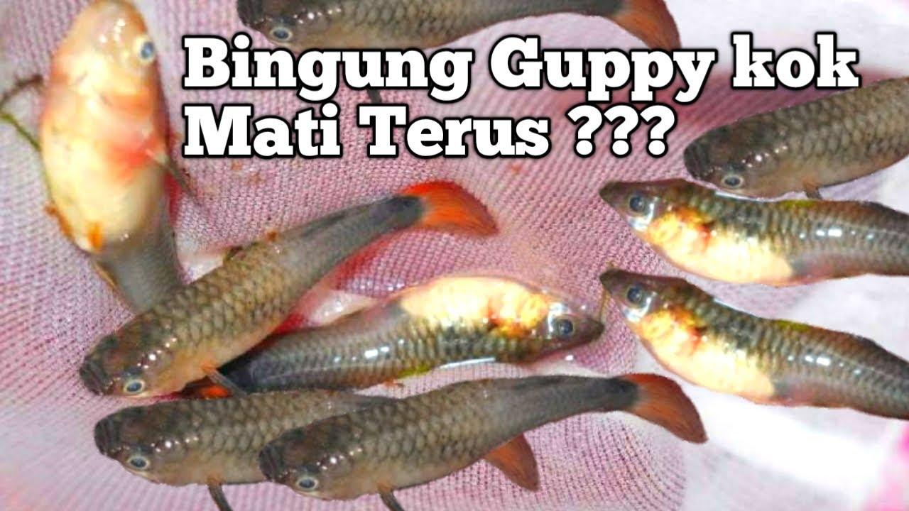 8 Alasan Kenapa Ikan Guppy Kita Cepat Mati Youtube