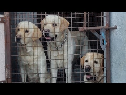 Labrador Puppies For Sale In India | How To Check Purity Of Labrador | Doggyz World | 9053119992