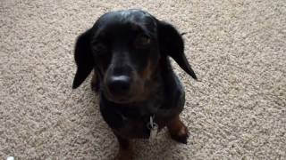 Dottie The Dachshund In Hd!