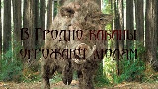 🐗🐗 В Гродно дикие кабаны 🐗 напали на человека / In Grodno wild boars attacked a man
