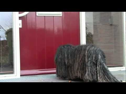 Walking the dog - in a wheelchair, a Hungarian Puli