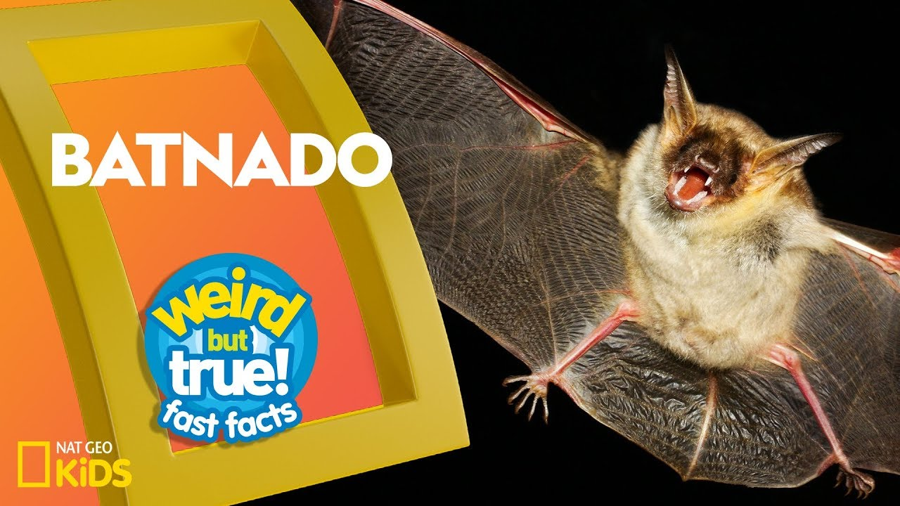Batnado | Weird But True!—Fast Facts