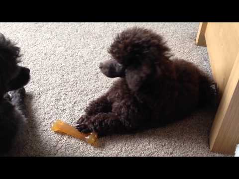 Miniature poodle Pippin barking