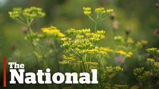 Wild parsnip causing painful burns
