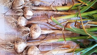Herbs for Hens™: Garlic (How to Plant and Use)
