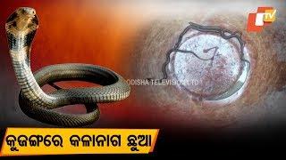 7 Indian Cobra hatchlings resuced in Kujang of Jagatsinghpur