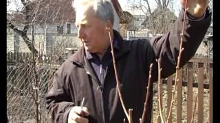 Обрезка персика, 3 года. Тетянина садиба 2015(, 2015-04-29T07:56:03.000Z)