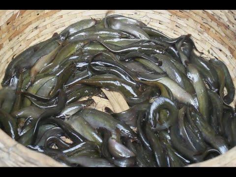 FISH MARKET - incredible fish market of Islampur, Bangladesh || Big Wholesale fish market