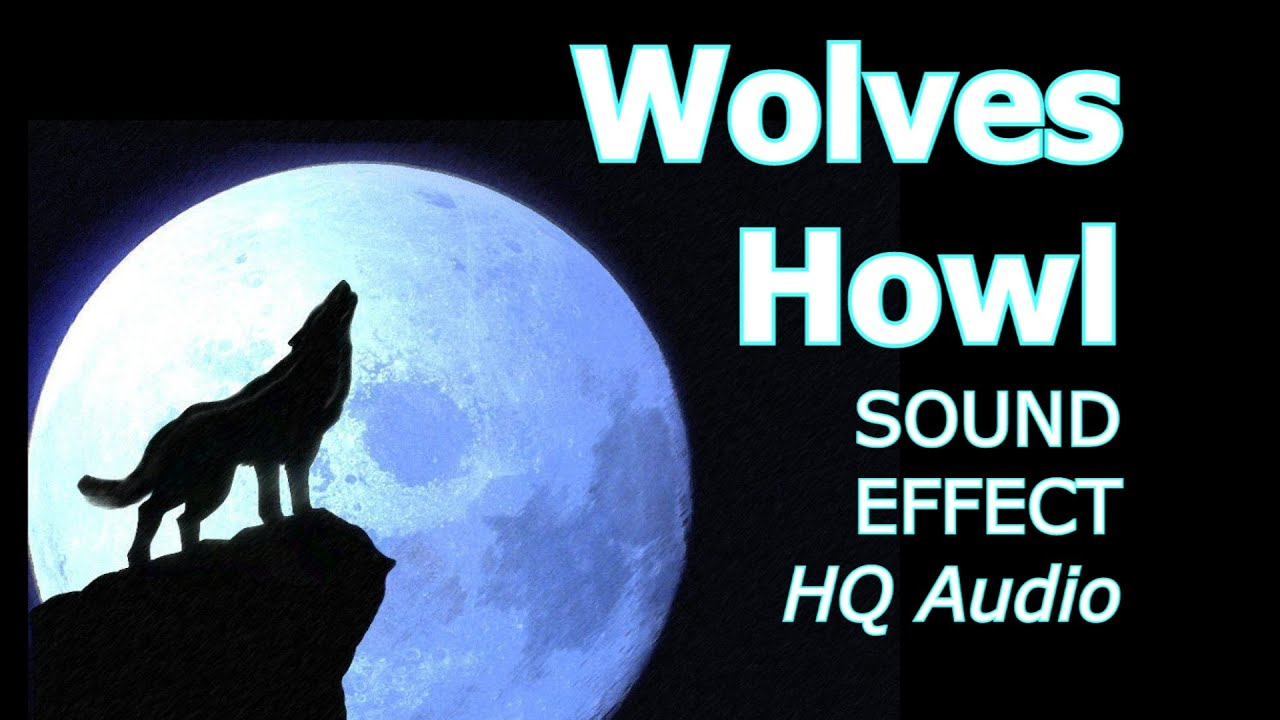 Wolf Howl Wolves Howling Wolves Howl At The Moon Pack Of Wolves Howling Hq Sound Effect Youtube