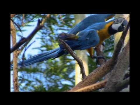 wild parrots in peru
