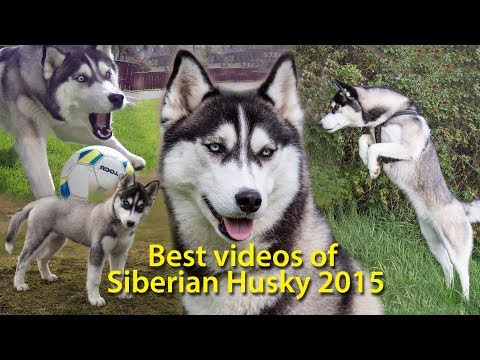 "Follow Lihkku, Day 6  ""Highlights""  Siberian Husky"
