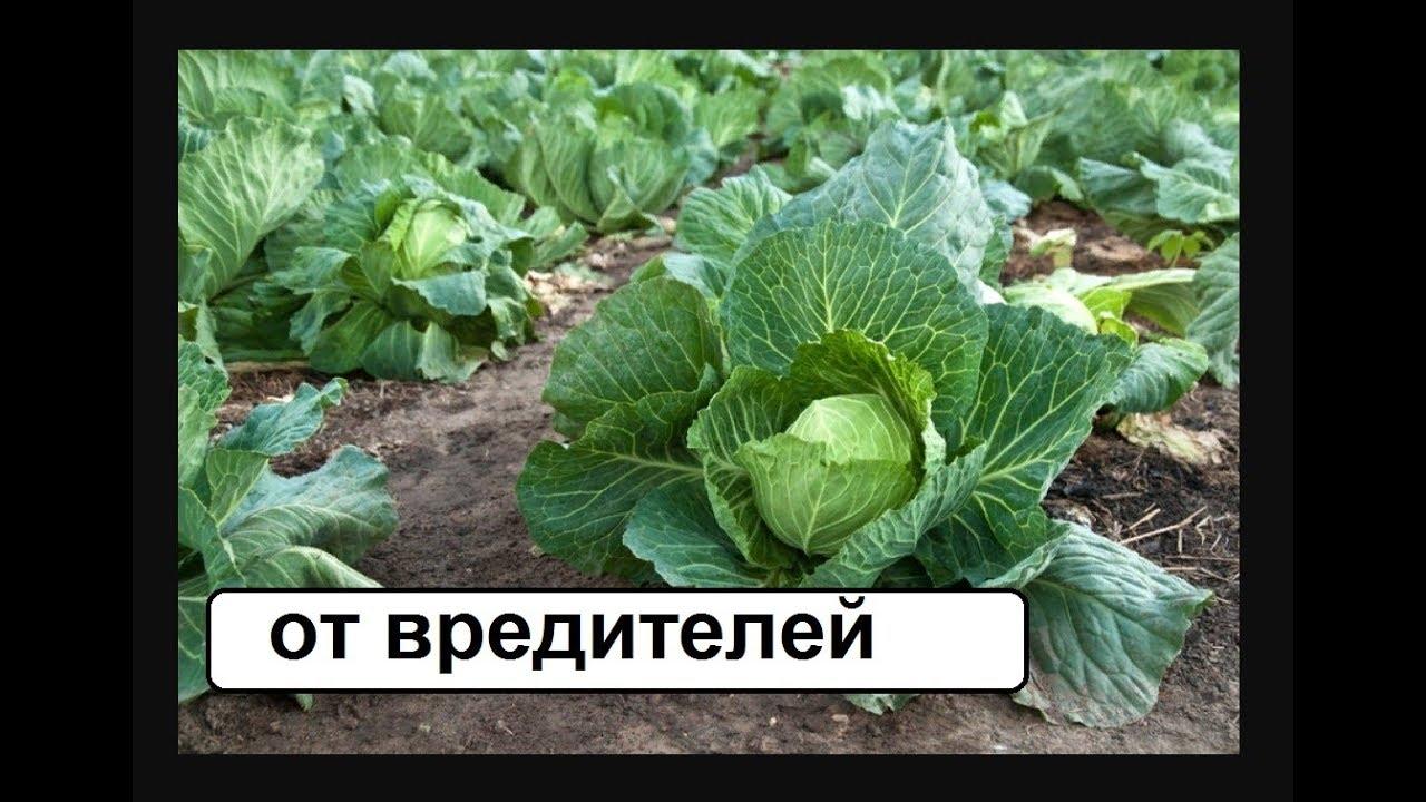 От вредителей капусты