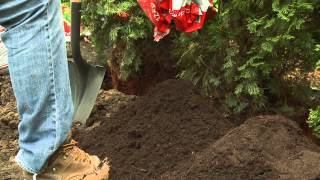 Planting A Cedar Hedge