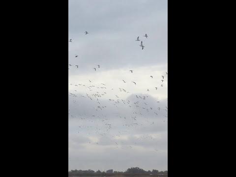 Sacramento National Wildlife Refuge Snow Geese Swarm!!!