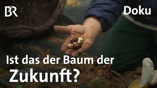 Esskastanie Ein Baum fr die Zukunft gegen Klimawandel  Zwischen Spessart und Karwendel  Doku BR