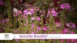 Senorita Rosalita Cleome-- A P Allen Smith Favorite!