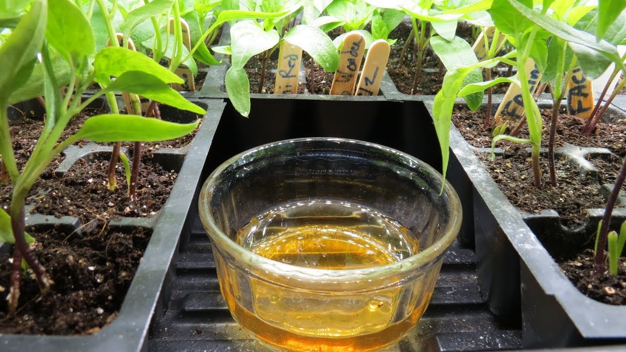 How to Use Apple Cider Vinegar to Stop Fungus Gnats in Vegetable & House  Plants: Set Up Examples