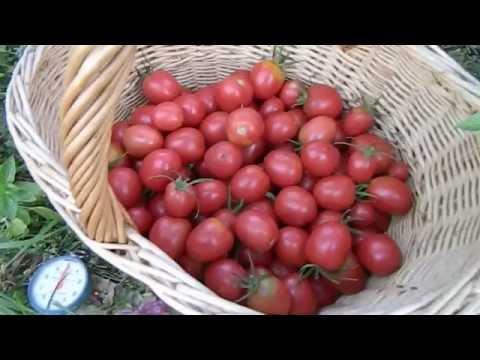 Не удаляйте пасынки на томатах!!!