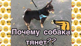 Почему собака тянет поводок? | Как отучить собаку или щенка тянуть