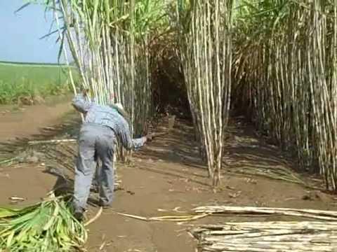 hand sugar cane harvesting demo for Zacapa rum