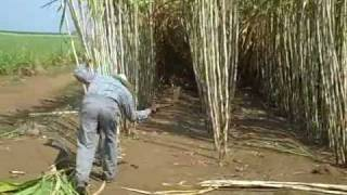 hand sugar cane harvesting demo for Zacapa rum