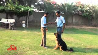Basic Obedience Companion Dog With Young German Shepherd