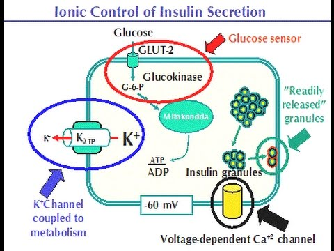 Mechanism of how insulin is released from pancreatic Beta cells