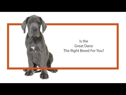 Great Dane Puppies in Illinois - Petland Bolingbrook, IL