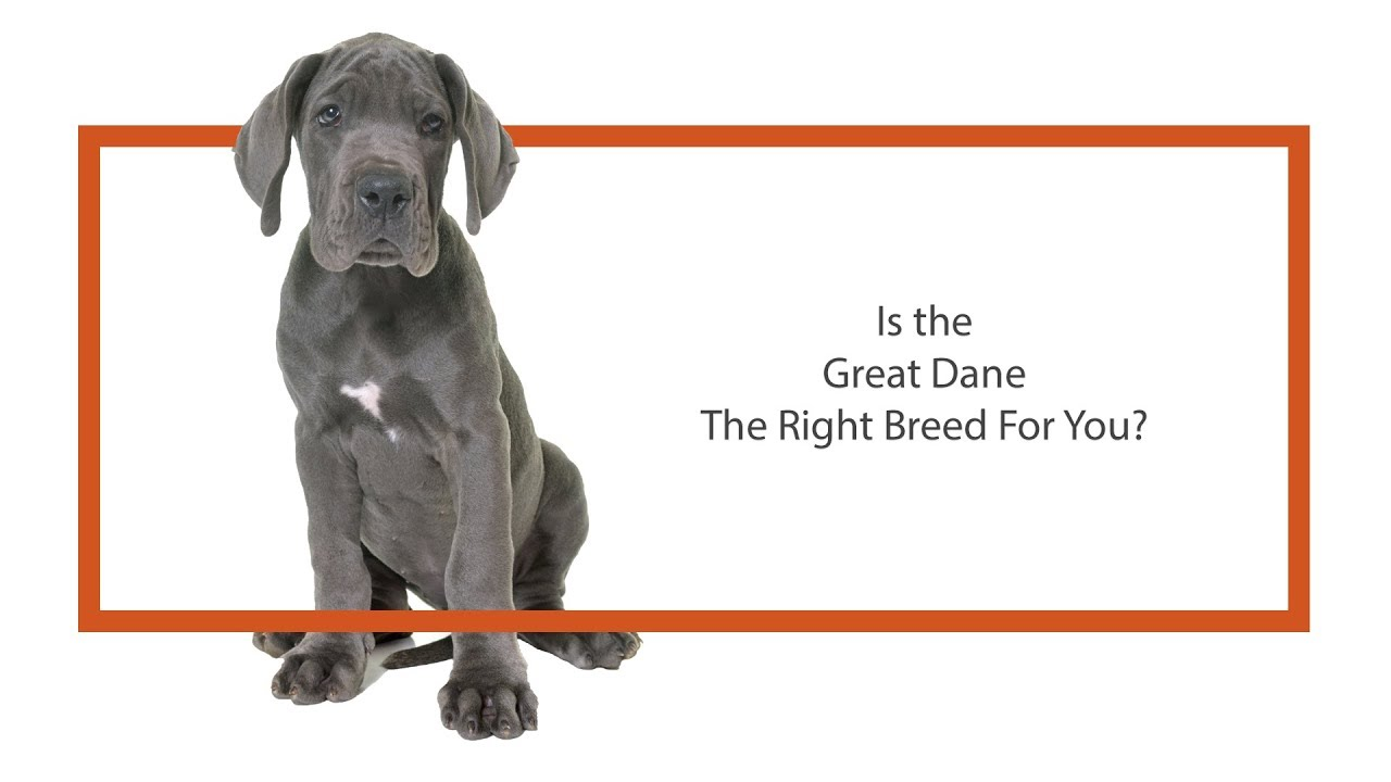 Great Dane Puppies - Petland Carriage Place