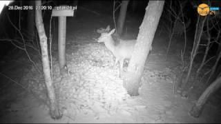 Dwie łanie w karmisku dla dzikich zwierząt w lesie na Podkarpaciu