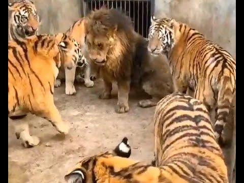 Лев против пяти тигров.