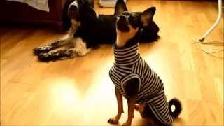 Как сшить теплую маечку для маленькой собаки(Выкройка для данного мастер-класса - https://www.youtube.com/watch?v=PhxGtJq6Qno Как сшить маечку для маленькой собаки расскаж..., 2015-10-02T18:07:20.000Z)