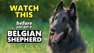 Watch This Before Getting a Belgian Shepherd | 5 Questions to Consider