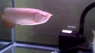 Arwana GOLDEN RED ukuran 20cm