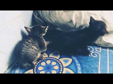 Si Meong Kucing lucu Funny Cats and Kittens Meowing