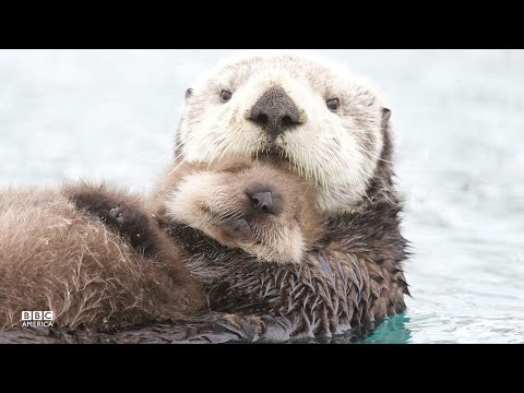Image result for SEA OTTERS AND BABIES