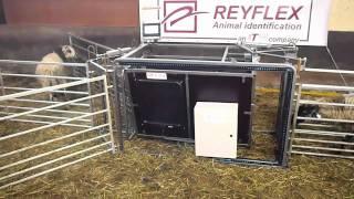 Cage ovine avec identification électronique