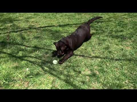 Chocolate Lab puppy for sale Michigan