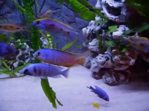 impressionen led beleuchtung malawi aquarium youtube. Black Bedroom Furniture Sets. Home Design Ideas