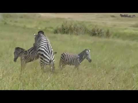 Attempted Zebra Matting Video in Serengeti National Park, Tanzania thumbnail