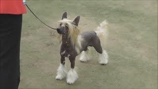 Китайская хохлатая собака, видео с выставки собак