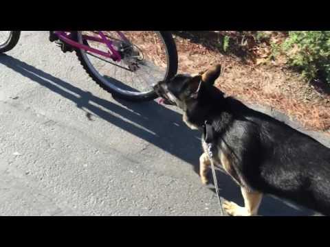 German Shepherd Bicycle Ride Running with Bicycle Walky Dog Plus GSD Kara Batilo MUSH mushing