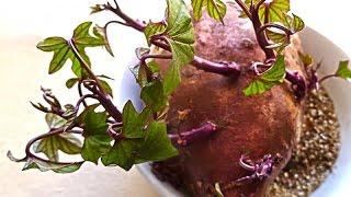 Como plantar Batata Doce, acompanhe comigo! thumbnail