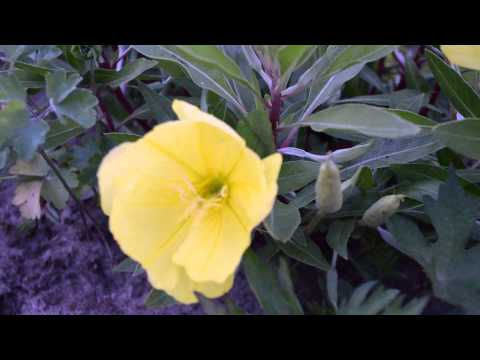 Энотера многолетняя (ночная свеча) - цветение