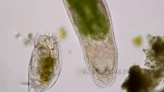 Turbellaria catches prey/ Микроскопический червь охотится и ловит добычу