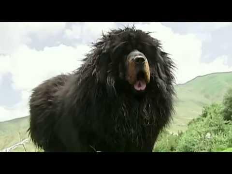 10 Grootste Bewakingshonden ter Wereld!