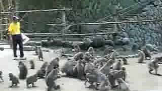 高崎山のサルの食事争奪戦です。