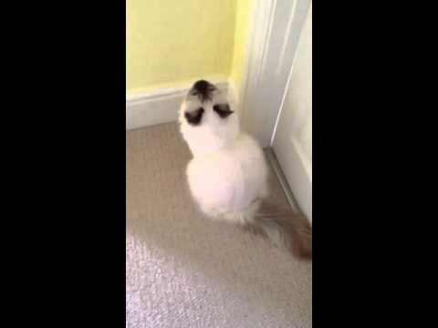 Talking and demanding Birman cat!!