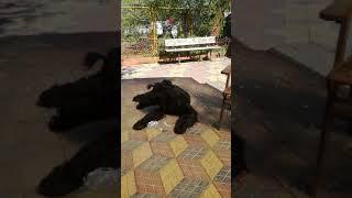 Русский черный терьер: Выделения у кобеля