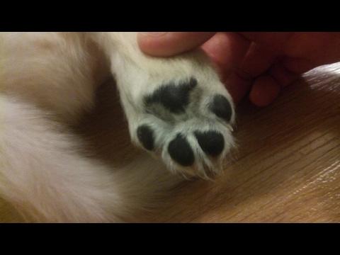 Кормлю щенка (золотистый ретривер/golden retriever)